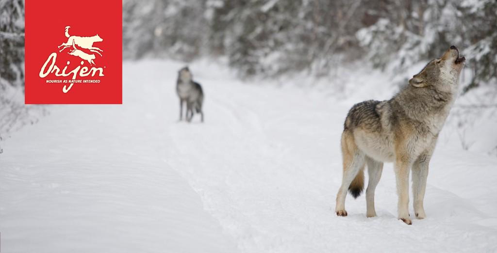 wolf-slider-1024x522