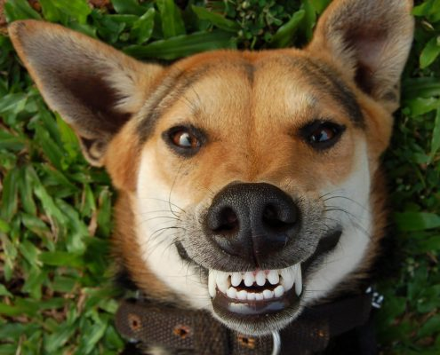 Dog front smile