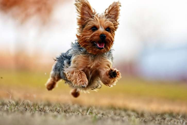What Is A Healthy Dog Food For A Yorkie